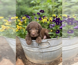 Labradoodle Puppy for sale in PROSPECT, VA, USA