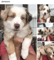 Miniature Australian Shepherd Puppy For Sale near 79707, Midland, TX, USA