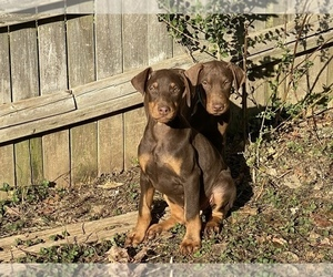 Doberman Pinscher Puppy for sale in LEXINGTON, KY, USA
