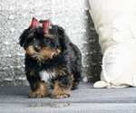 Puppy 11 Poodle (Toy)-Yorkshire Terrier Mix