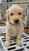 Golden Retriever Puppy For Sale in WILLOW SPRINGS, Missouri,