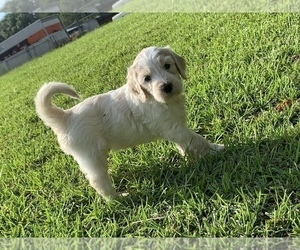 Goldendoodle Puppy for Sale in NICHOLLS, Georgia USA