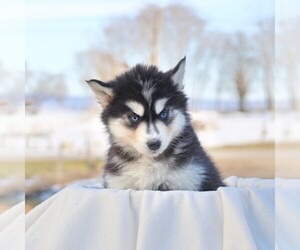 Siberian Husky Puppy for sale in HAGERSTOWN, MD, USA