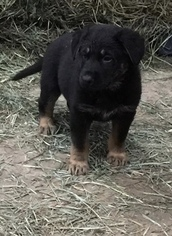 German Shepherd Dog Puppy For Sale in WOODLAND, WA, USA