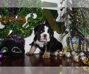 Bulldog Puppy for Sale in CHALMETTE, Louisiana USA
