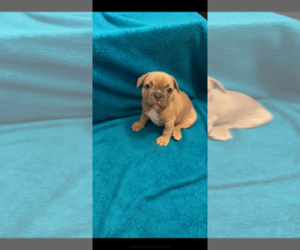French Bulldog Puppy for sale in LANCASTER, OH, USA