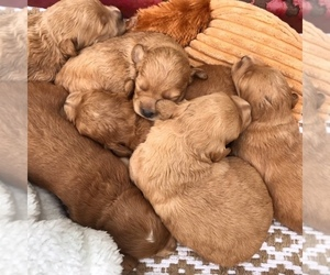 Goldendoodle Puppy for sale in CLATSKANIE, OR, USA