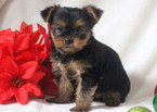Yorkshire Terrier Puppy For Sale in MOUNT JOY, PA, USA