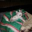 Malchi Puppy For Sale in ARKADELPHIA, AR, USA