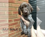 Small #30 German Shorthaired Pointer
