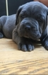 Cane Corso Puppy For Sale in WINDSOR MILL, MD,