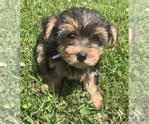 Yorkshire Terrier Puppy for sale in DETROIT, TX, USA