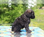 Small #29 Goldendoodle
