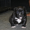 American Pit Bull Terrier Puppy For Sale in NEW BEDFORD, MA
