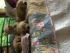 Golden Retriever Puppy For Sale in GOULDSBORO, PA, USA