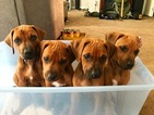 Rhodesian Ridgeback Puppy For Sale in SALT LAKE CITY, UT, USA