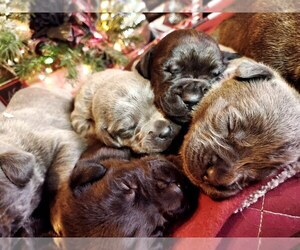 Cane Corso Puppy for sale in POMONA, CA, USA