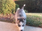 Siberian Husky Puppy For Sale in FORNEY, TX,