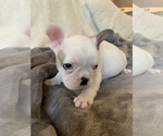 Small Photo #10 French Bulldog Puppy For Sale in JOHNS ISLAND, SC, USA