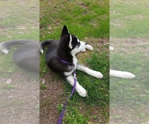 Siberian Husky Puppy for sale in FAIRFAX, VA, USA