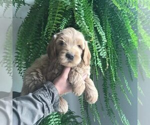 Australian Labradoodle Puppy for Sale in ANNA, Texas USA