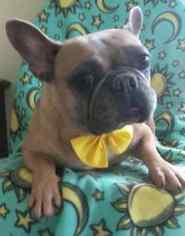 French Bulldog Puppy for sale in EPHRATA, PA, USA