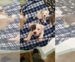 Puppy 3 American Bully