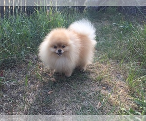 Father of the Pomeranian puppies born on 10/18/2019