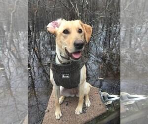 Mother of the Labrador Retriever puppies born on 04/03/2019