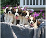 Small #1 Saint Bernard
