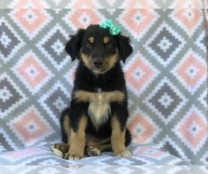 Australian Shepherd-English Shepherd Mix Dog for Adoption in LAKELAND, Florida USA