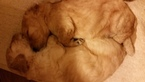 Goldendoodle Puppy For Sale in PELHAM, New Hampshire,