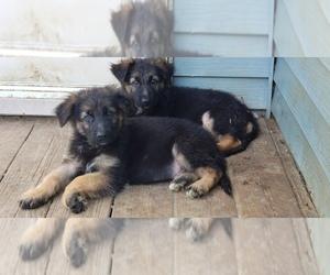 German Shepherd Dog Puppy for sale in NEWARK, DE, USA
