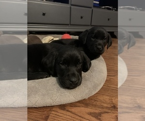 Labrador Retriever Puppy for Sale in MONROE, Georgia USA