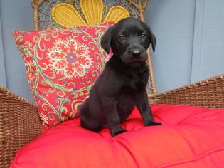 Labrador Retriever Puppy For Sale in EATONVILLE, WA