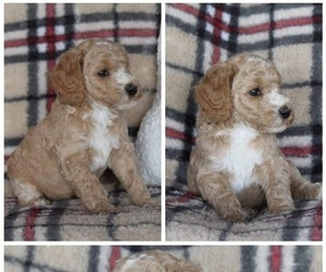 Poodle (Standard) Puppy for Sale in BROKEN BOW, Oklahoma USA