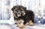 Morkie Puppy For Sale in NAPLES, FL,