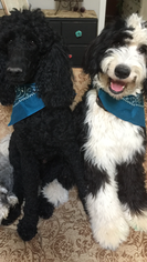 Father of the Sheepadoodle puppies born on 12/31/2018