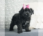 Puppy 2 Poodle (Toy)-Yorkshire Terrier Mix