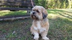 Shih Apso Dog For Adoption in Weston, FL