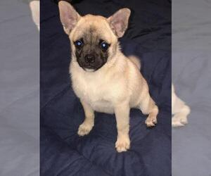 Pom-A-Pug Puppy for Sale in SEBASTIAN, Florida USA