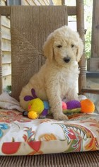 Labradoodle Puppy for sale in NORTH WILKESBORO, NC, USA