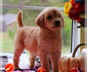 Goldendoodle Puppy for Sale in FAIR GROVE, Missouri USA