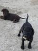 Black Labrador Brittany Spaniel Puppy