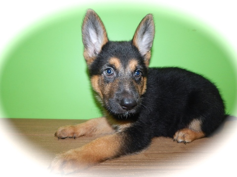 German Shepherd Dog puppy