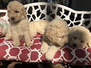 Beautiful Labradoodle Puppies