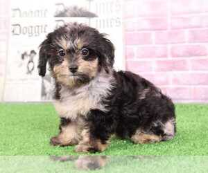 Dachshund-Poodle (Standard) Mix Puppy for sale in BEL AIR, MD, USA