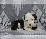 Puppy 9 Sheepadoodle