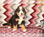 Small #3 Bernese Mountain Dog