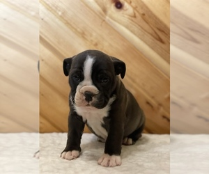 English Bulldog Puppy for Sale in ORRVILLE, Ohio USA